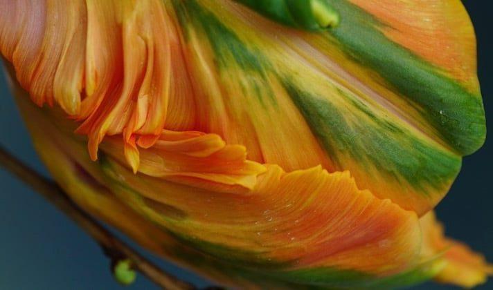 Papageien-Tulpe, orange-rot-gelbe Farbe und grün