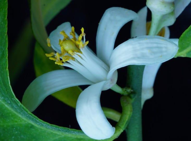 Zitrusblüte weiß gelb umhüllt von grünem Blattwerk