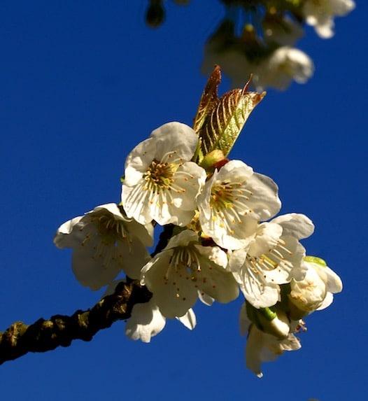 Kirschblüten aneinandergereiht vor dunkelblauem Himmel mit goldenem Blatt