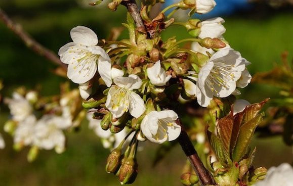 Kirschblüten im Bündel an Zweig
