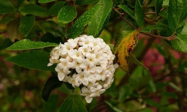 Viburnum Dolde weißer Blüten voller Regentropfen nach Regen mit gelblich verfärbtem Blatt
