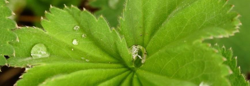 Viburnum regennaß mit Regentropfen auf grünem Blatt