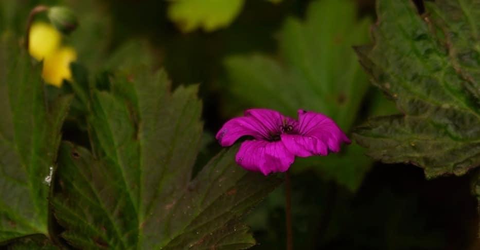lilafarbene Blüte vor dunklem Hintergrund mit Blättern