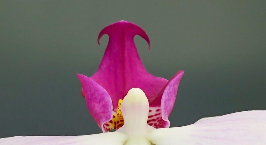Phalenopsis Orchidee weiß mit pink spitz und rund
